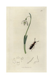 Falagria Thoracica, Red-thoraxed Staphylinus Beetle, And Snowdrop, Galanthus Nivalis Giclee Print by John Curtis