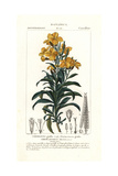 "Aegean Wallflower, Erysimum Cheiri, From Pierre Bulliard's ""Flora Parisiensis,"" 1776, Paris Giclee Print by Pierre J-F Turpin"