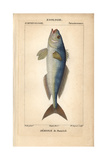 Greater Amberjack, Seriola Dumerili Giclee Print by Jean Gabriel Pretre