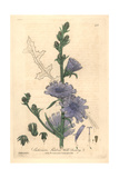 Wild Chicory, Cichorium Intybus, From William Baxter's British Phaenogamous Botany, Oxford, 1841 Giclee Print by Charles Mathews