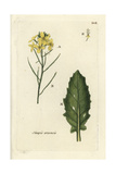 "Field Mustard, Sinapis Arvensis, From Pierre Bulliard's ""Flora Parisiensis,"" 1776, Paris Giclee Print by Pierre Bulliard"