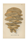 Oyster Mushroom, Agaricus Ostreatus Giclee Print by Mordecai Cubitt Cooke