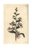 Dwarf Spanish Foxglove, Digitalis Minor Giclee Print by John Curtis