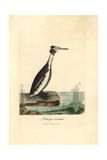 Great Crested Grebe, Podiceps Cristatus Impression giclée par George Graves