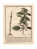 Stinging Nettle, Urtica Arvens Giclee Print by Pierre Bulliard