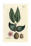 "Almond, Amygdalus Communis, From Pierre Bulliard's ""Flora Parisiensis,"" 1776, Paris Giclee Print by Pierre Bulliard"