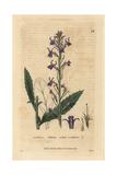 Acrid Lobelia, Lobelia Urens, From William Baxter's British Phaenogamous Botany, 1834 Giclee Print by Isaac Russell