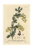 Common Barberry, Berberis Vulgaris, From William Baxter's British Phaenogamous Botany, 1834 Giclee Print by Isaac Russell