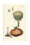 "Onion, Allium Cepa, From Pierre Bulliard's ""Flora Parisiensis,"" 1776, Paris Giclee Print by Pierre Bulliard"