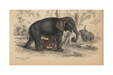 African Bush Or Savanna Elephant Giclee Print