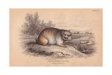 Short-tailed Chinchilla Giclee Print