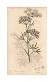 Cowbane, Cicuta Virosa Giclee Print by E. Weddell