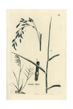"Reed Canarygrass, Phalaris Arundinacea, From Pierre Bulliard's ""Flora Parisiensis,"" 1776, Paris Giclee Print by Pierre Bulliard"