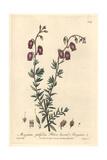 St. Daboec's Heath, Menziesia Polifolia, From William Baxter's British Phaenogamous Botany, 1841 Giclée-Druck von Isaac Russell