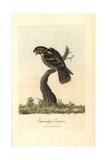 Goatsucker, Nightjar, Caprimulgus Europaeus Giclee Print by George Graves