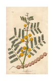 Egyptian Thorn Tree, Acacia Nilotica Giclee Print by E. Weddell