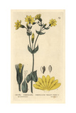 Perfoliate Yellow-wort, Chlora Perfoliata, From William Baxter's British Phaenogamous Botany 1834 Giclee Print by Isabel Clark