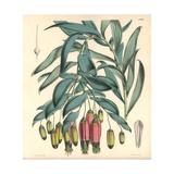 Andinamarc Collania, Bomarea Andimarcana Giclee Print by Walter Hood Fitch
