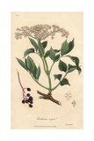 Elderberry Tree, Sambucus Nigra Giclee Print by E. Weddell