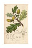 English Oak Tree, Quercus Robur Wydruk giclee autor G. Reid
