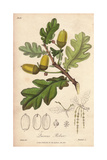 English Oak Tree, Quercus Robur Giclee Print by G. Reid