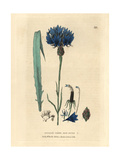 Bluebottle, Centaurea Cyanus, From William Baxter's British Phaenogamous Botany, 1834 Giclee Print by Isaac Russell