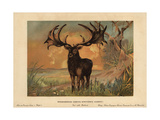 Irish Elk, Megaloceros Giganteus, Extinct Species of Giant Deer From the Late Pleistocene Giclee Print by F. John