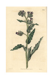 Waved-leaved Bugloss, Anchusa Undulata Giclee Print by John Curtis
