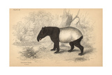 Malayan Or Asian Tapir Giclee Print