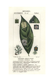 Leaf Fungi, Circinaria Epiphylla Giclee Print by C. Vaulthier
