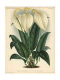 Anthurium Scherzerianum Or Flamingo Flower with Cream-colored Flowers Giclee Print