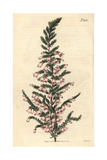 Pendent-flowered Heath, Erica Propendens Giclee Print by John Curtis