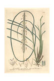 Sea Reed, Ammophila Arundinacea, From William Baxter's British Phaenogamous Botany, Oxford, 1841 Giclee Print by Charles Mathews