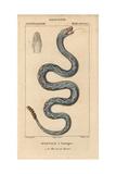 Eastern Diamondback Rattlesnake, Crotalus Adamanteus Giclee Print by Jean Gabriel Pretre