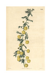 Unequal-winged Acacia, Acacia Nigricans Giclee Print by John Curtis