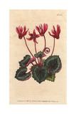 Ivy-leaved Cyclamen, Cyclamen Repandum Giclee Print by Sydenham Edwards