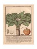 Male Mandrake Plant, Atropa Mandragora Or Mandragora Officinarum Giclee Print by Pierre Bulliard