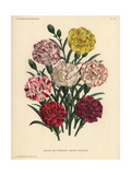 New Varieties of Florist's Carnations - White Blooms Edged with Pink Or Scarlet Giclee Print
