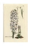 "Sweet Rocket, Hesperis Matronalis, From Pierre Bulliard's ""Flora Parisiensis,"" 1776, Paris Giclee Print by Pierre Bulliard"