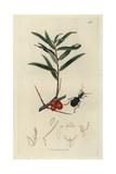 Drypta Emarginata, Drypta Dentata, Blue Drypta Beetle, And Sea Buckthorn, Hippophae Rhamnoides Giclee Print by John Curtis