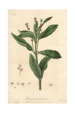 Dogs Mercury, Mercurialis Perennis, From William Baxter's British Phaenogamous Botany, 1835 Giclee Print by E. Weddell