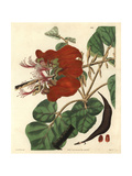 Velvety Erythrina, Erythrina Velutina Giclee Print by Reverend R. T. Lowe