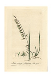 Mountain Melic Grass, Melica Nutans, From William Baxter's British Phaenogamous Botany, 1835 Giclee Print by Charles Mathews