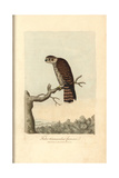 Kestrel, Falco Tinnunculus Giclee Print by George Graves