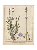 Common Lavender, Lavandula Angustifolia Giclee Print by Friedrich Gottlob Hayne