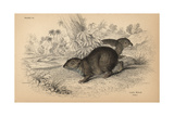 Cape Or Rock Hyrax Giclee Print