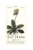 "Cowslip, Primula Veris, From Pierre Bulliard's ""Flora Parisiensis,"" 1776, Paris Giclee Print by Pierre J-F Turpin"