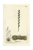 "Couch Grass, Elymus Repens, From Pierre Bulliard's ""Flora Parisiensis,"" 1776, Paris Giclee Print by Pierre Bulliard"