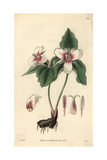 Blood-stained Trillium, Trillium Erythrocarpum Giclee Print by William Jackson Hooker