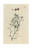 "Sandspurry, Arenaria Rubra, From Pierre Bulliard's ""Flora Parisiensis,"" 1776, Paris Giclee Print by Pierre Bulliard"